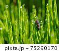 朝露とテントウムシの幼虫 75290170