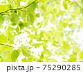 新緑の輝き 75290285
