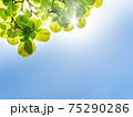 新緑の輝き 75290286