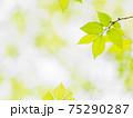 新緑の輝き 75290287