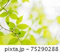新緑の輝き 75290288