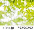 新緑の輝き 75290292