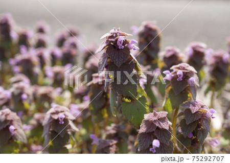 早春の陽光を浴びるヒメオドリコソウの群生 75292707