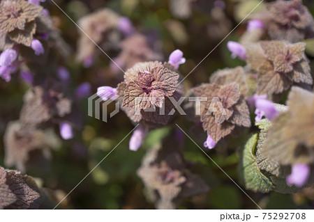 早春の陽光を浴びるヒメオドリコソウの群生 75292708