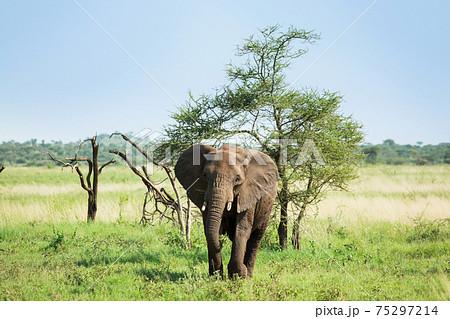 アフリカ 野生のゾウ 75297214