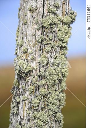 枯れ木に付着したハナゴケの一種 75311664