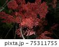 ライトアップされた夜の赤々した紅葉 新潟県柏崎市 松雲山荘 75311755