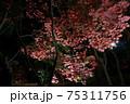 ライトアップされた夜の紅葉 新潟県柏崎市 松雲山荘 75311756