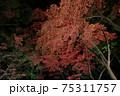 ライトアップされた夜の燃えるような紅葉 新潟県柏崎市 松雲山荘 75311757