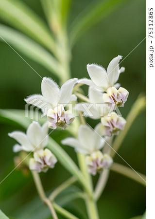 白い不思議な形をした可愛い花 フウセントウワタ 75312865