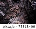 日本三大夜桜 高田公園の桜のライトアップ 75313409