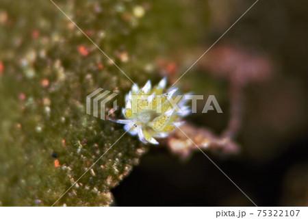 バリ島のクサイロモウミウシ その⑥ 75322107