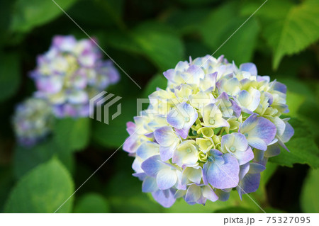 水色と黄色の紫陽花(アジサイ) 75327095