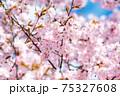 桜と青空 75327608
