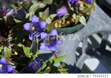 キキョウの蜜を吸うホソヒラタアブ 75332517