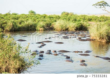 アフリカ 野生のカバ 75333281