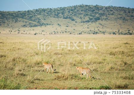 アフリカ 野生のチーター 75333408