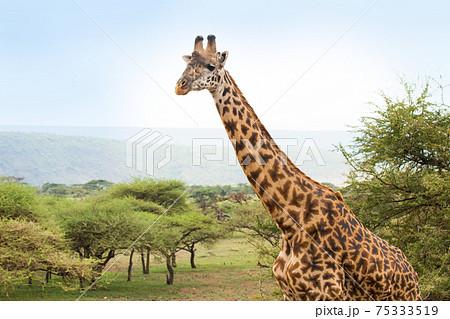 アフリカ 野生のキリン 75333519