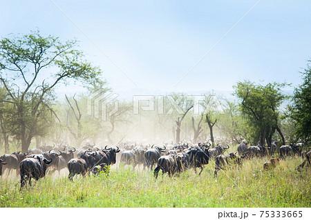 アフリカ 野生ヌーの群れの大移動 75333665
