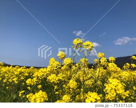 菜の花 青空に伸びてカップルみたいに寄り添う花 75337116