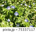 オオイヌフグリ 可愛い青い花 Veronica persica  75337117