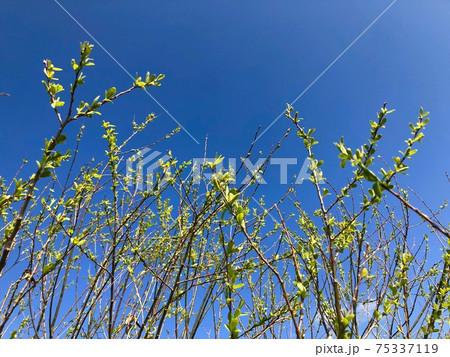 新芽を青空に伸ばす スタート 75337119