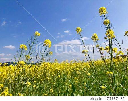 春風に揺れる菜の花と青空 75337122