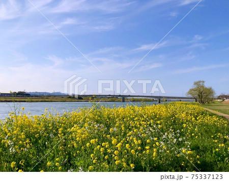 春の川辺の菜の花と橋と青空 75337123
