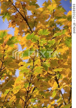 黄色に染まりだした木の葉(秋の紅葉) 撮影場所:栂池自然園(長野県、北アルプス) 75338993
