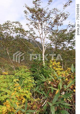 秋のオオシラビソ 撮影場所:栂池自然園(長野県) 75340846