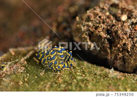 バリ島のミナミアオモウミウシ その② 75349250