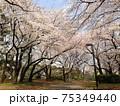 満開の桜 日本の美しい春の風景 75349440