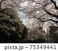 咲き誇る桜 日本の美しい春の風景 75349441