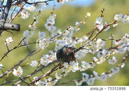 ヒヨドリと梅の花 75352896
