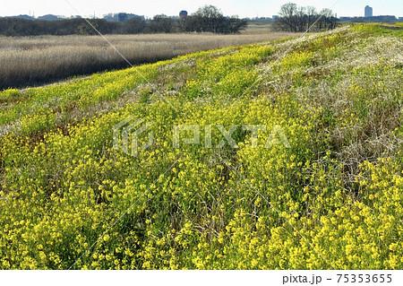 渡良瀬遊水地の葦原と堤防に群生して咲く菜の花にバルーン 75353655