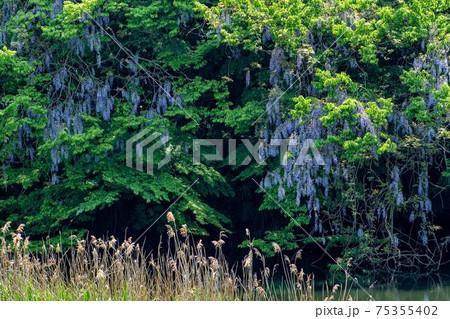 樹木に巻き付いて、すだれのように垂れて咲く藤の花 75355402