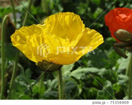 三陽メデアフラワーミュウジアムの前庭のポピーの黄色い花 75356909