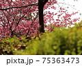 丘の上の桜 75363473