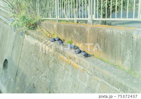 神田川のコンクリートで休憩中の鳩 75372437