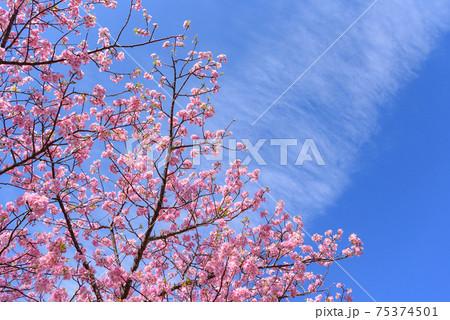 晴天と河津桜(入学・卒業イメージ) 75374501