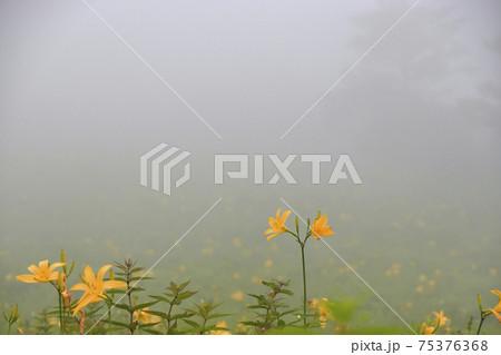 満開のニッコウキスゲ 初夏・霧中の日光霧降高原 75376368
