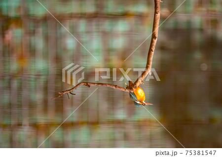 水面に映った小枝に止まり餌を探すカワセミ 75381547