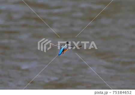 埼玉県比企郡川島町の白鳥飛来地 水上を飛ぶカワセミ 75384652