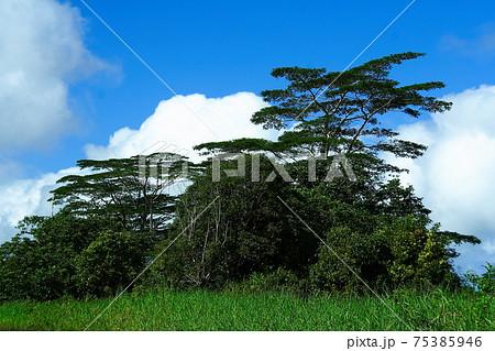 南太平洋の島国サモア独立国 ウポル島の木々 75385946