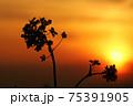 綺麗な夕焼けと菜の花のシルエット 75391905