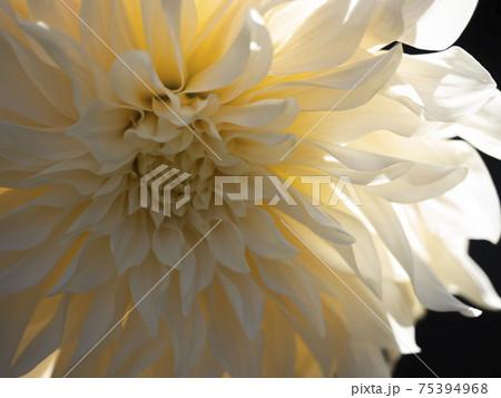 ダリヤ、カフェオレの気品のある華麗な花 75394968
