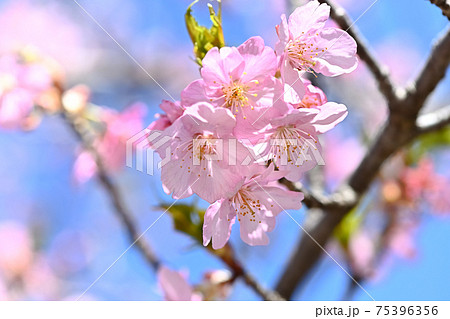 河津桜のアップ 75396356