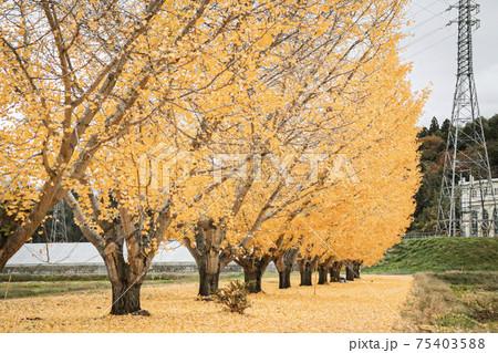 一列に並ぶイチョウ並木とイチョウの絨毯 75403588