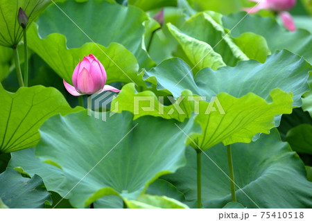 大きな蓮の葉っぱの間をすり抜けて顔を出した蓮の蕾 75410518