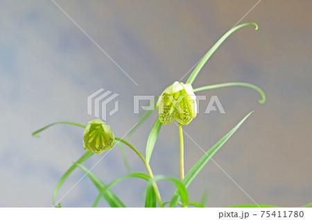 花びらに網目模様がある多年草のアミガサユリ 75411780